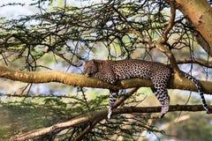 Retrato de um leopardo que descansa em uma árvore Nakuru, África fotos de stock