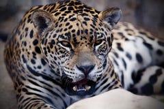 Retrato de um leopardo imagem de stock royalty free