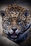 Retrato de um leopardo fotografia de stock