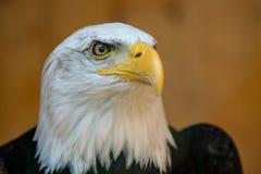Retrato de um leucocephalus calvo de Eagle Haliaeetus foto de stock
