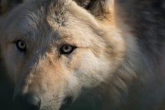 Retrato de um lobo ártico fotografia de stock