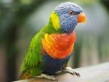 Retrato de um lorikeet do arco-íris na ilha de Martinica fotografia de stock royalty free