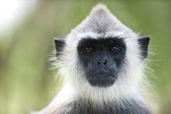 Retrato de um macaco fotografia de stock