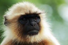 Retrato de um macaco Fotos de Stock