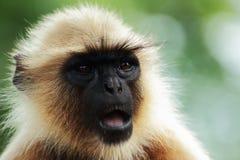 Retrato de um macaco Fotos de Stock Royalty Free