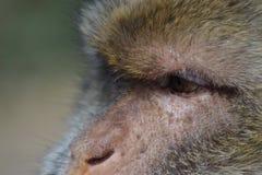 Retrato de um macaco, fim acima foto de stock