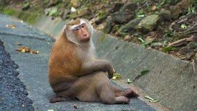 Retrato de um macaco, olhando a câmera monkey no parque nacional, habitat natural, floresta tropical filme