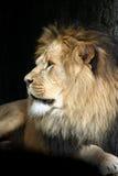 Retrato de um macho do leão Fotografia de Stock