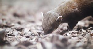 Retrato de um mangusto