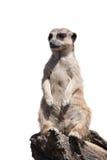 Retrato de um meerkat Imagem de Stock