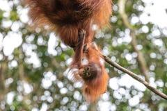 Retrato de um orangotango em uma floresta úmida imagens de stock royalty free