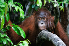 Retrato de um orangotango novo imagem de stock royalty free