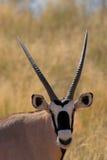 Retrato de um oryx imagens de stock