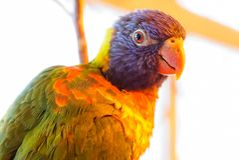 Retrato de um papagaio colorido fotografia de stock royalty free
