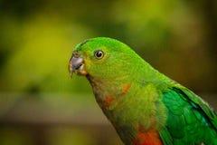 Retrato de um papagaio fêmea do rei fotografia de stock royalty free