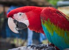 Retrato de um papagaio multi-colorido, Koh Samui, Tailândia Fotografia de Stock Royalty Free