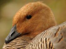 Retrato de um pato Fotografia de Stock