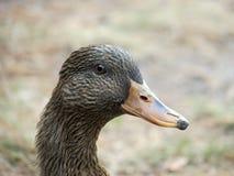 Retrato de um pato fêmea Fotos de Stock Royalty Free