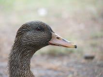 Retrato de um pato fêmea Imagem de Stock