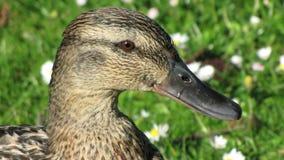 Retrato de um pato selvagem fêmea fotografia de stock