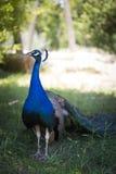 Retrato de um pavão Imagens de Stock Royalty Free