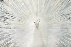 Retrato de um pavão branco, com as penas abertas, executando a dança nupcial foto de stock royalty free