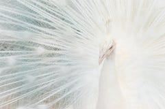 Retrato de um pavão branco, com as penas abertas, executando a dança nupcial fotografia de stock royalty free