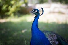 Retrato de um pavão Imagem de Stock Royalty Free