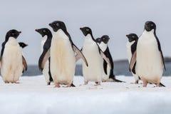 Retrato de um pinguim de Adelie Pinguins de Adelie que desfilam em um floco do gelo imagem de stock royalty free