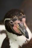Retrato de um pinguim do humboldt foto de stock royalty free