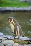 Retrato de um pinguim na grama Imagens de Stock