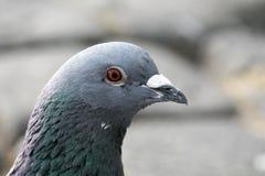 Retrato de um pombo foto de stock
