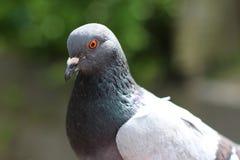 Retrato de um pombo Fotos de Stock