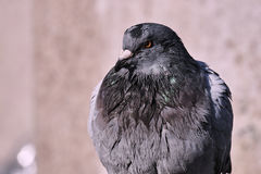 Retrato de um pombo cinzento Fotos de Stock Royalty Free