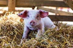 Retrato de um porco bonito do bebê foto de stock