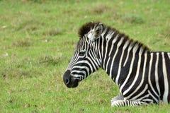 Retrato de um potro da zebra que descansa no selvagem Fotos de Stock Royalty Free