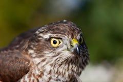 Retrato de um predador Imagens de Stock Royalty Free
