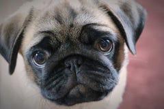 Retrato de um pug bonito fotografia de stock
