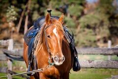 Retrato de um quarto do cavalo Fotos de Stock