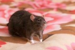 Retrato de um rato doméstico preto Fotografia de Stock