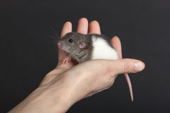 Rato pequeno na palma Fotos de Stock Royalty Free