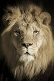Retrato de um rei African Lion imagem de stock royalty free