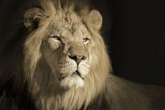 Retrato de um rei Male African Lion imagem de stock