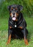 retrato de um rottweiler Imagens de Stock Royalty Free