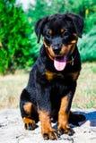 Retrato de um rottweiler do cachorrinho do puro-sangue Fotografia de Stock Royalty Free