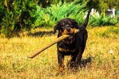 Retrato de um rottweiler do cachorrinho do puro-sangue Fotos de Stock