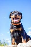 Retrato de um rottweiler do cachorrinho do puro-sangue em um fundo do céu azul Fotografia de Stock Royalty Free