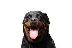 Retrato de um rottweiler do puro-sangue Fotografia de Stock