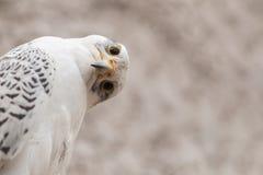 Retrato de um rusticolus de Falco do falcão de Gyr com rotação principal engraçada Copie o espaço imagens de stock royalty free