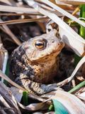 Retrato de um sapo grande grande na grama seca foto de stock